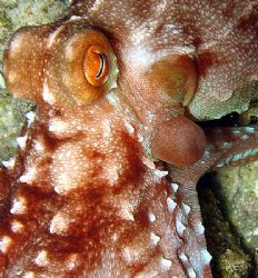 Octopus close up by Christine Huffard 